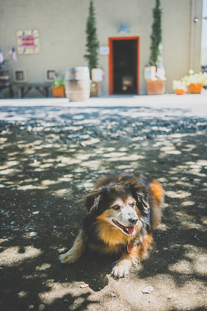 dog friendly wine tasting in Calistoga, Dutch Henry winery