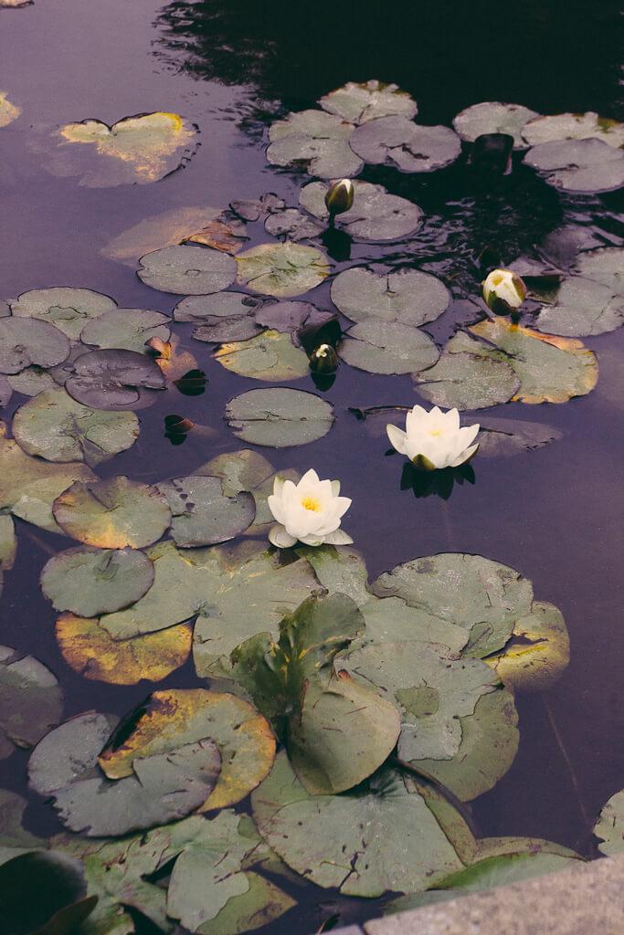 Goldengate Park San Francisco California Bay Area lotus nature lake DeYoung museum Cal academy of sciences Hagiwara Japanese garden tourism travel visit Arboretum plants botanical garden blogger local