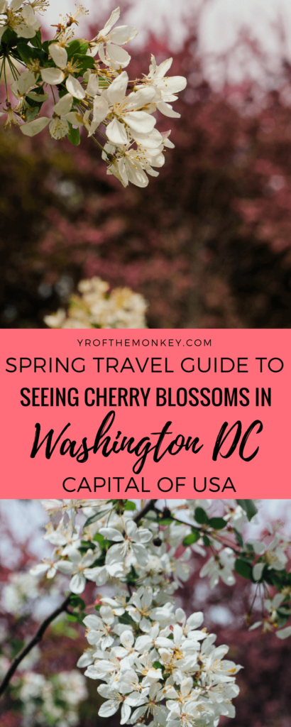 This is a spring travel guide to Washington DC, USA for the Cherry Blossom festival. A guide to best DC sights, activities and tips to see the cherry blossoms. Pin it to your Cherry blossom or USA travel guide #cherryblossoms #washingtondc #USAvacation #cherryblossomfestival #springvacation #USA