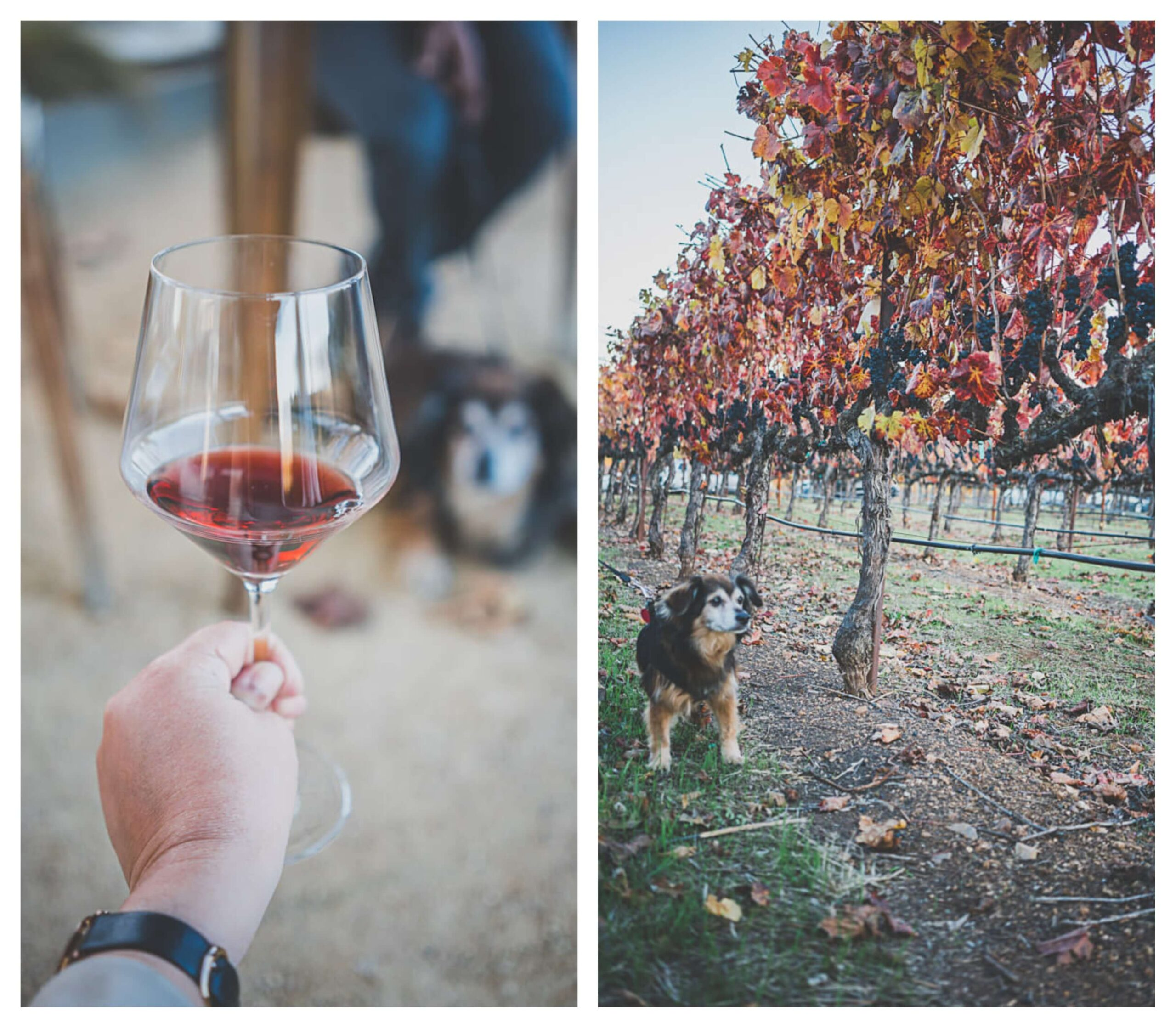Dog friendly Russian Rivery valley wineries in Sonoma, MacRostie Winery
