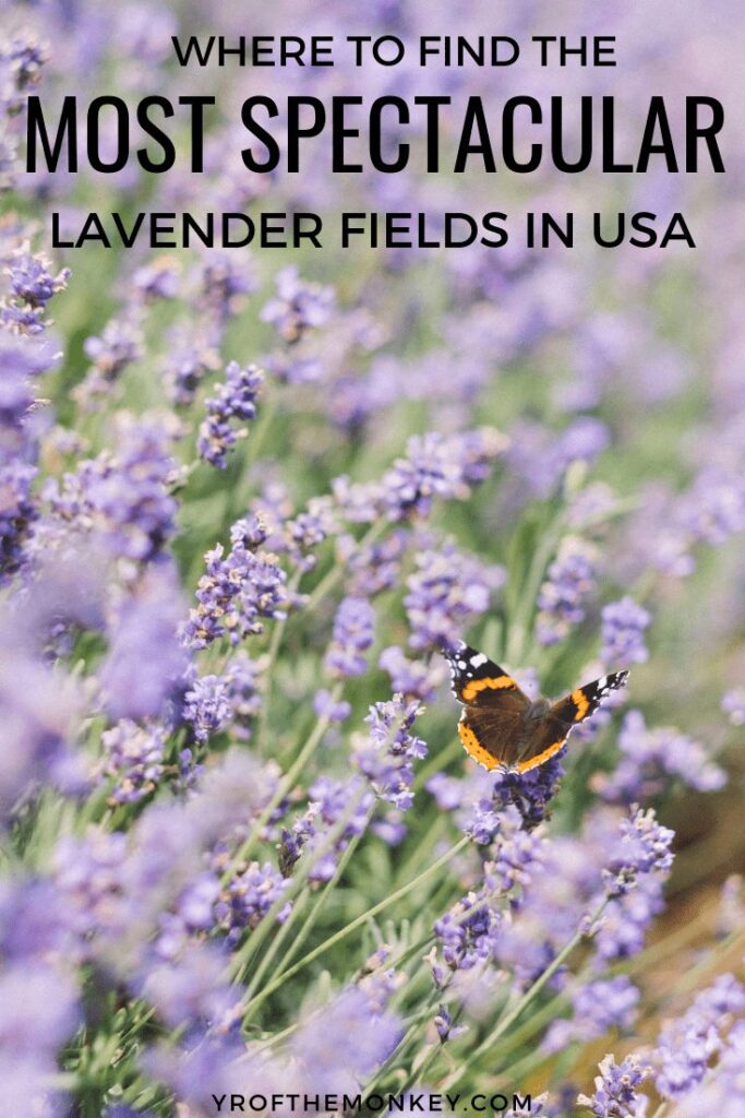 Too busy or broke to travel to Europe to see the lavender fields of Provence?Worry not, cause you can find plenty of lavender farms right here in USA. Read this guide to the top spots for visiting lavender fields in continental USA and pin this to your US board now #lavender #lavenderfields #USA #summertravel #flowerfields #lavenderfarms