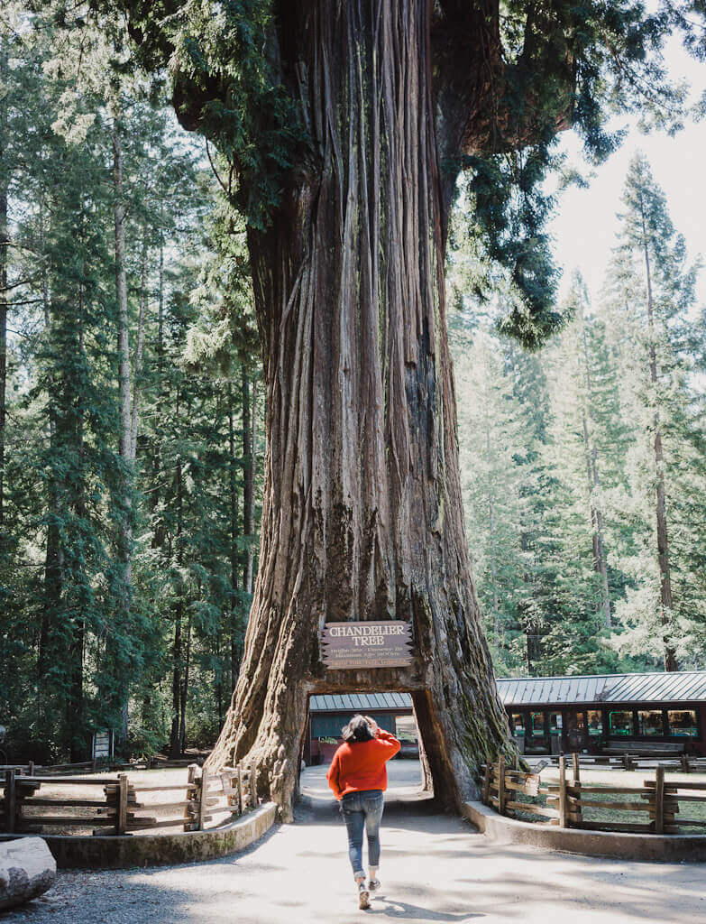 Drive through tree at Leggett, this is the start of your road trip in Northern California along the Redwoods highway