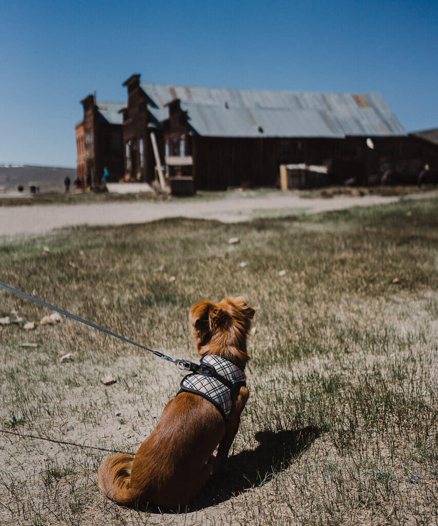 Dog in Bodie State Park