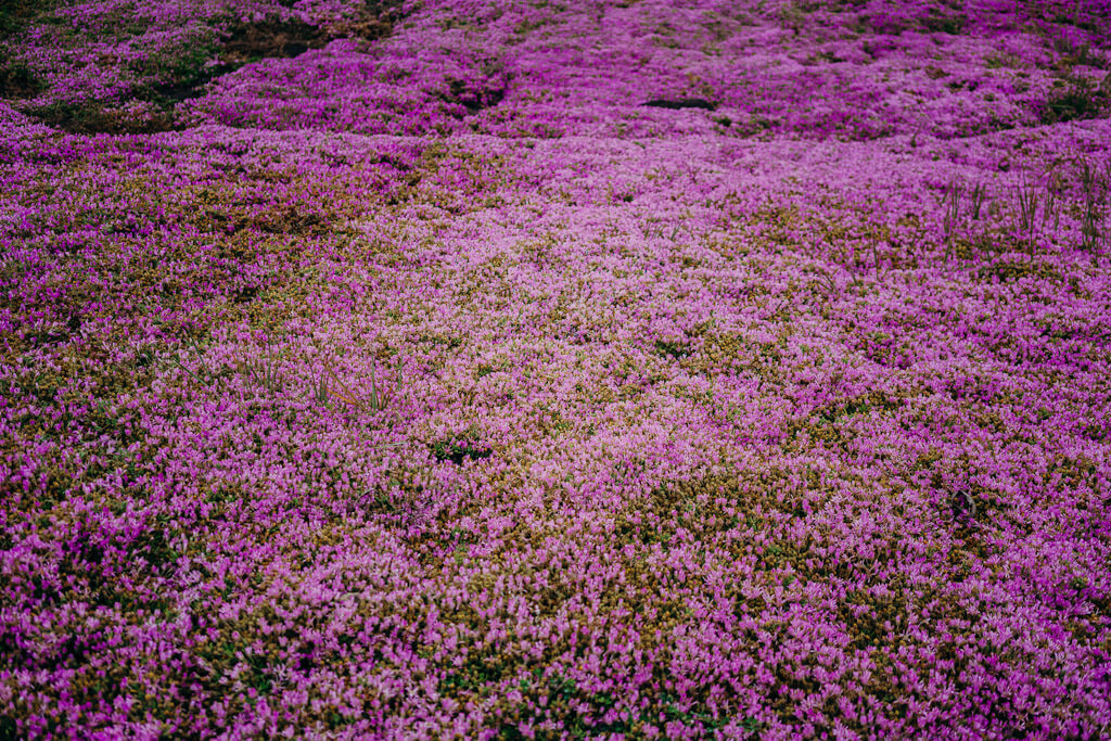 Purple carpet on Ocean View Blvd, Pacific grove, California