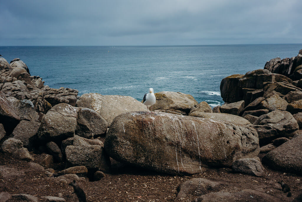 Seagull and squirrel on the Pacific grove coast