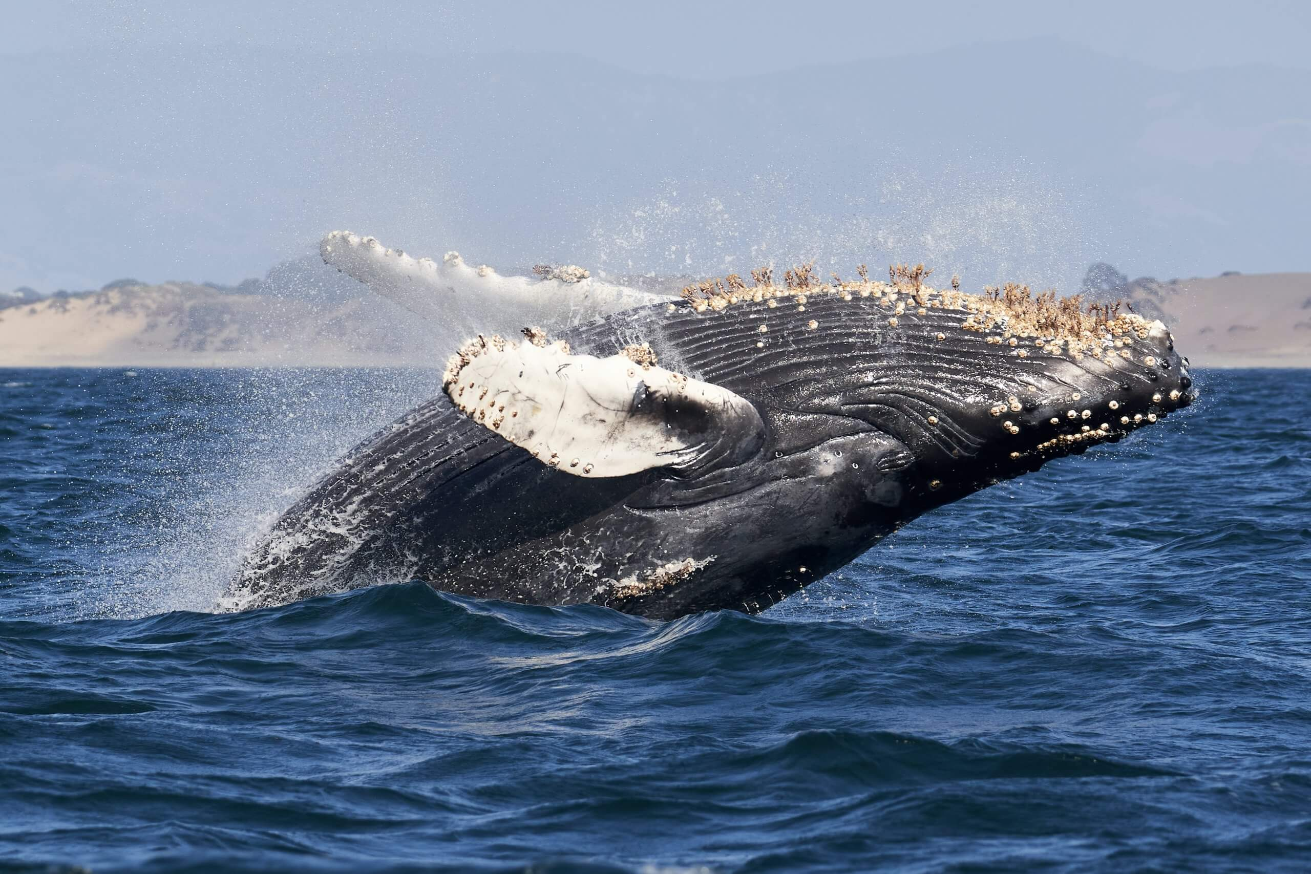 Whale watching at Moss Landing in Monterey Bay
